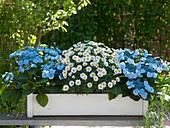 Hydrangea macrophylla 'Blue Wave' (Blaue Hortensien), Argyranthemum