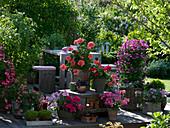 Geranien - Terrasse mit Pelargonium Angeleyes 'Burgundy'