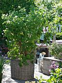 Pelargonium tomentosum (Duftgeranie) mit Pfefferminzduft