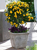 Lantana Suntana 'Gold' (Wandelröschen) unterpflanzt