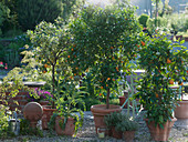 Citrus sinensis 'Variegata (Buntblättrige Orange), Citrofortunella microcarpa