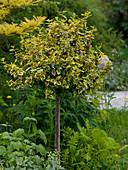 Euonymus fortunei 'Emerald'n Gold' (Kletterspindelstrauch) auf Stamm