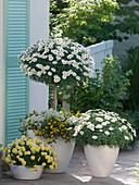 Argyranthemum 'Stella 2000' 'Madeira Crested Yellow' (Margeriten), Stamm