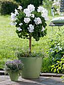 Pelargonium grandiflorum 'Mona Lisa Weiß' (Edelgeranie) Stamm