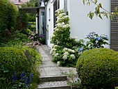 Plattenweg zum überdachten Hauseingang, Hydrangea macrophylla