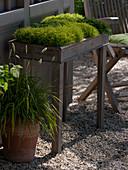 Sagina subulata 'Scottisch Moss' 'Irish Moss' (Sternmoos)