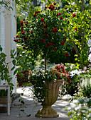 Rosa 'Kronjuwel' (Beetrose) auf Stamm unterpflanzt