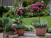 Rosa 'Charmant' (Rose), Zwergrose, leicht duftend und 'Medley Pink'