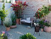 Rosa 'Medley Red' (Bodendeckerrose), öfterblühend, Stamm, Rosa