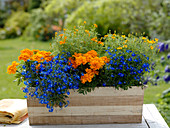 Holzkasten bepflanzt mit Lobelia (Männertreu), Tagetes patula und tenuifolia