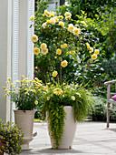 Rosa 'Sunlight Romantica' (Rosa von Bkn - Strobel)