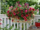 Kasten mit Petunia 'Patio Red' (Petunien), Cuphea llavea Vienco 'Red' 'Purple
