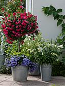 Rosa 'Knirps' (Bodendeckerrose von Kordes) auf Stamm, unterpflanzt