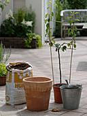 Birne in Terrakotta - Kübel pflanzen 1/8