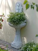 Wandbrunnen bepflanzt mit Euphorbia 'Diamond Frost' (Zauberschnee