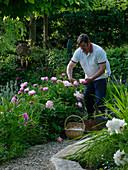 Mann mit Weidenkorb schneidet Paeonia (Pfingstrosen)