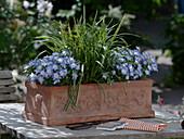Campanula isophylla 'Starina Bicolor Star' (Glockenblume), Carex morrowii