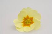Primula vulgaris syn. acaulis (Frühlingsprimel , Kissenprimel)