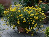 Bidens ferulifolia 'Flair' (Goldmarie, Zweizahn)