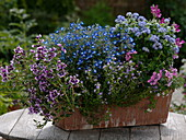 Cuphea llavea Vienco 'Lavender' 'Purple-Pink' (Köcherblümchen), Lobelia