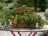 Lycopersicon (mini tomatoes) in terracotta box