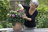 Frau schneidet verblühte Blüten von Dahlia (Dahlie) aus