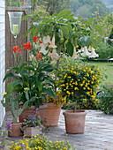 Canna indica 'Luzifer' (Indisches Blumenrohr), Datura syn. Brugmansia