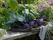 Freshly harvested Brassica (Blue Kohlrabi) on wooden tray