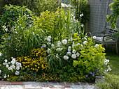Weiß-gelbes Beet : Physocarpus 'Darts Gold' (Blasenspiere),Dahlia (Dahlien)