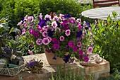 Petunia Veranda 'Dark Blue' 'Magenta' 'Rose Vein' (Petunien) gemischt gepflanz