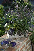 Capsicum 'Purple Beauty' (Schwarzer Paprika), Ocimum kilimandscharicum