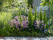 Violettes Sommerbeet mit Cleome 'Senorita Rosalita' (Spinnenpflanzen)