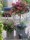 Rosa 'Heidetraum' (Rose - Stämmchen), Rosa Generosa 'Dan Poncet'