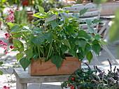 Phaseolus vulgaris 'Sixta' (bush bean) in terracotta box