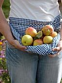 Frisch gepflückte Äpfel Sorte 'Collina'
