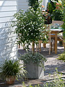 Solanum rantonnetii 'Album' (Weißer Enzianbaum) unterpflanzt