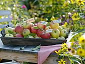 Tablett mit verschiedenen Apfelsorten durch Anhänger beschriftet