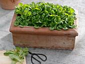 Feldsalat im Terracotta - Kasten