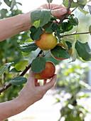 Malus 'Elstar' (Apfel) pflücken
