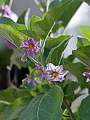Blüte von Solanum melongena 'Picola' (Mini - Aubergine)