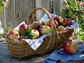 Frisch geerntete Sommeräpfel Sorte 'Santana'