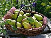Freshly harvested pears 'Gute Luise' in the wicker basket