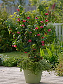Abutilon (Schönmalve) als Stämmchen, unterpflanzt mit Lonicera