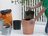 Birnbaum in Terracotta - Kübel umpflanzen 2/4