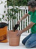 Birnbaum in Terracotta - Kübel umpflanzen 3/4