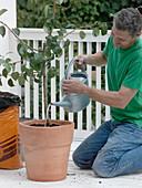 Birnbaum in Terracotta - Kübel umpflanzen 4/4