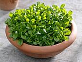 Feldsalat (Valerianella locusta) im Terracotta - Schale