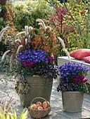 Herbstlich bepflanzte Töpfe : Aster 'Blue Lapis' (Kissenastern)