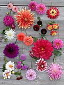 Tableau mit verschiedenen Dahlien-Blüten