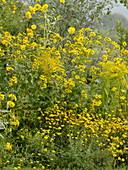 Gelbes Spätsommerbeet mit Färberkamille, Goldrute, Staudensonnenblume und Sonnenhut